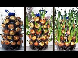 jardines verticales - Cebollas en bidones