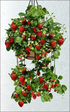 jardines verticales - columna fresas